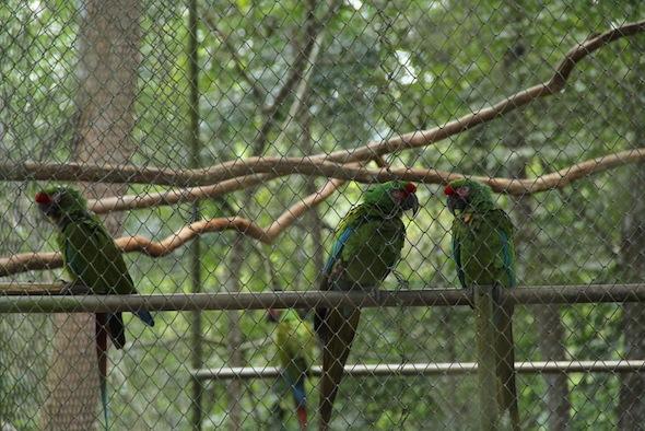 15-06-20-guatemala-greenmacaws