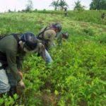Coca eradication in Peru