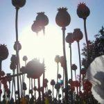 A poppy plantation