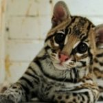A baby ocelot rescued from traffickers