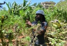 A marijuana farmer in Jamaica