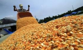 A maize farm in Sinaloa, Mexico