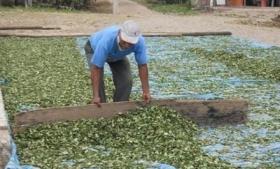 Coca farmer in Bolivia