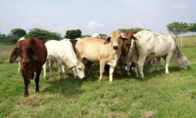 Cattle in Paraguay