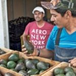 Michoacan is the world's biggest avocado producer
