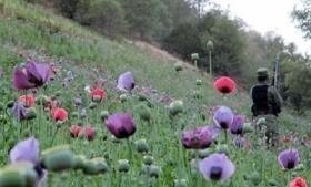 An opium poppy field in Mexico