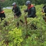 Peru aims to eradicate 30,000 hectares of coca in 2014