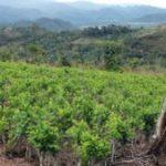 Coca crops in Peru's VRAEM region