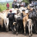Cattle in Nicaragua's RAAS