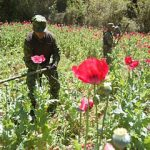 Mexican police eradicating poppy crops