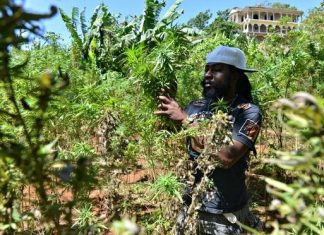 Marijuana use has been decriminalized in Jamaica