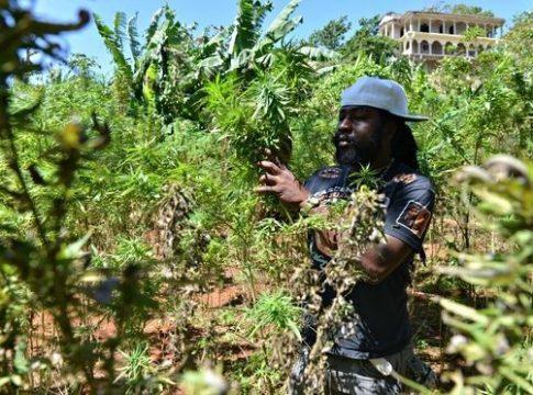 Marijuana use has been decriminalized in Jamaica