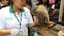 A wildlife official inspects a monkey