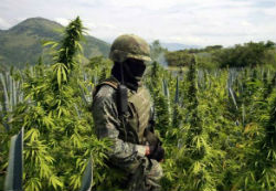 A Mexican soldier in a marijuana field