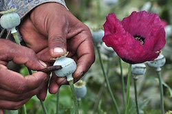"""Opium gum,"" the raw ingredient in heroin, is extracted from the poppy plant"