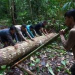 Illegal logging in Peru