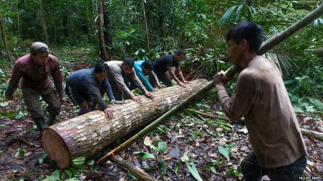 Illegal logging in Peru