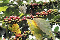 Coffee plants infected with coffee rust