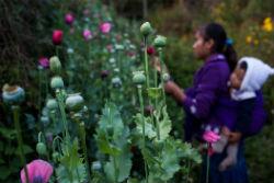 A poppy field in Guerrero