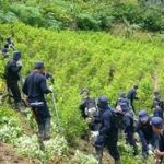 Peruvian soldiers destroying coca crops in the VRAEM region.