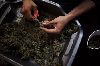 Marijuana produced in California