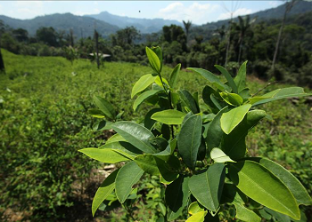 Peru's latest coca count is higher than last year's