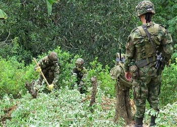 Colombian military uprooting coca plants