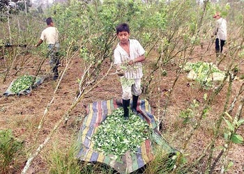 Coca growers in Colombia's Putumayo department