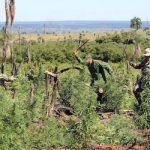 Authorities dismantle a marijuana plantation in Paraguay