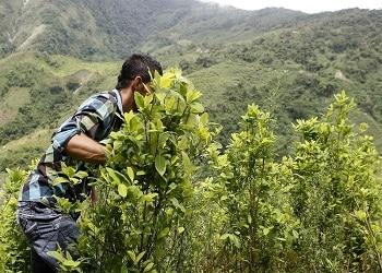 Cocalero en Antioquia, Colombia