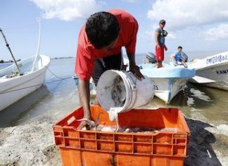 350 toneladas de pulpo han sido robadas en México en el último mes