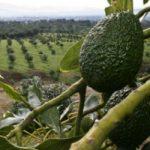 El estado de Michoacán encabeza la producción mundial de aguacates